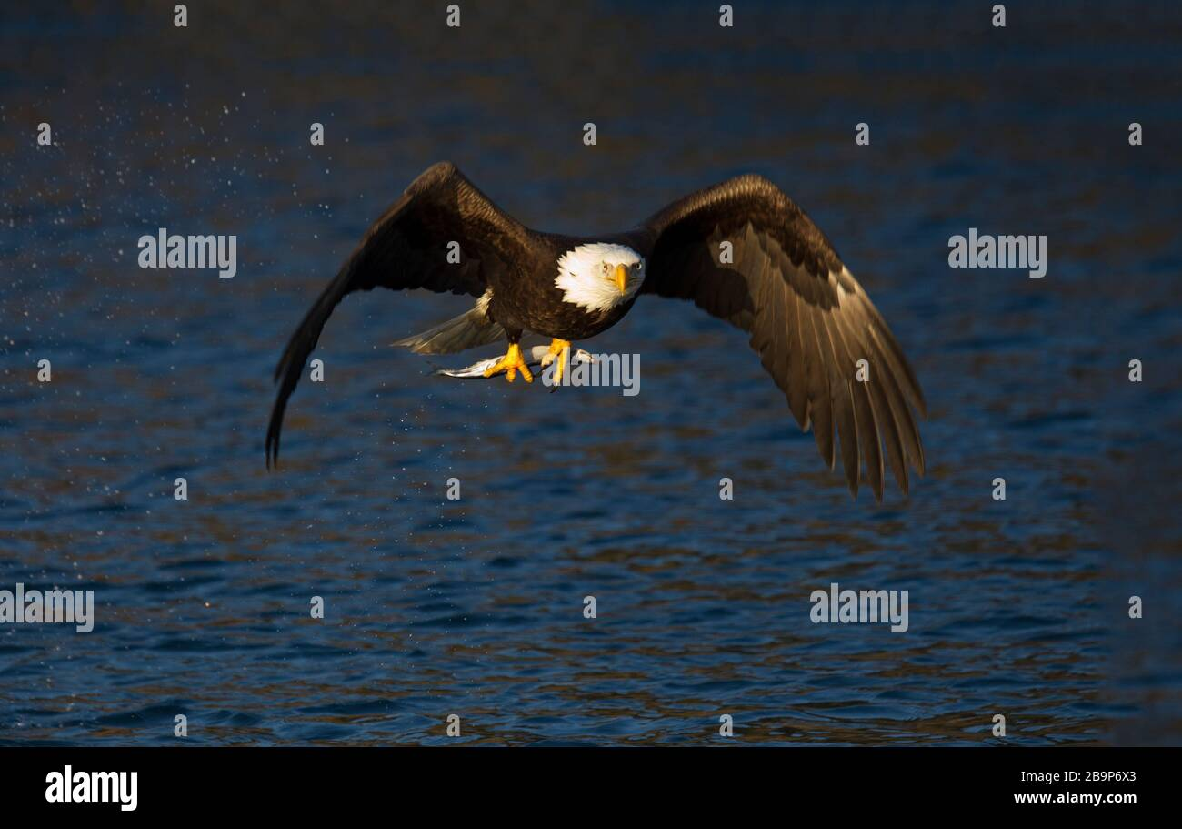 Adult Bald Eagle Flying with Fish in Talons Stock Photo