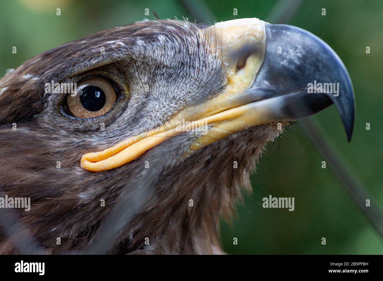 Adult golden eagle bird in a cage. Dangerous bird is a predator with a large beak behind bars. Golden eagle is the largest representative of the entire hawk family, a strong and large eagle Stock Photo