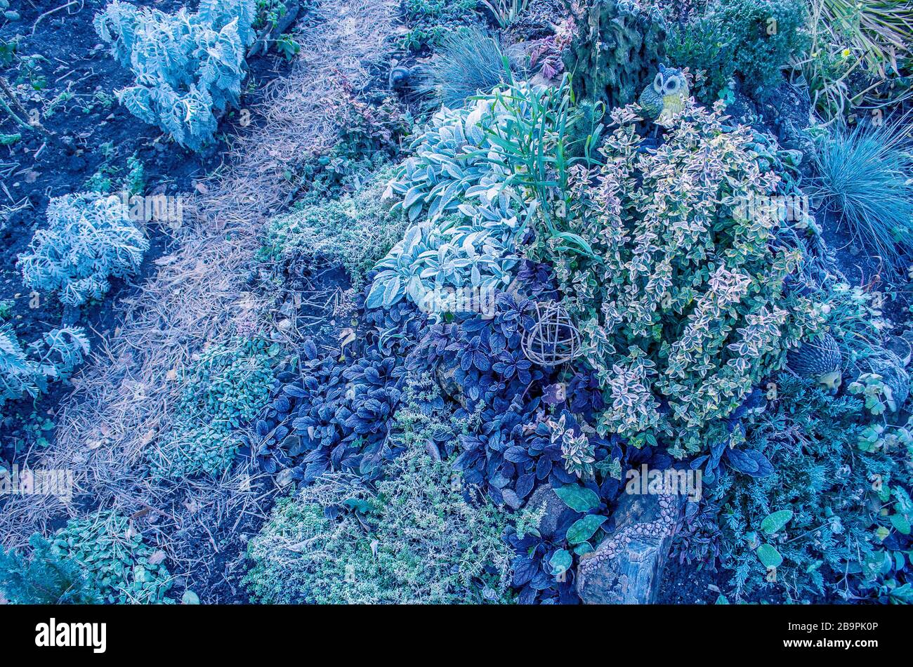 Frozen  bushes, greenery and flowers in the garden in winter. Stock Photo