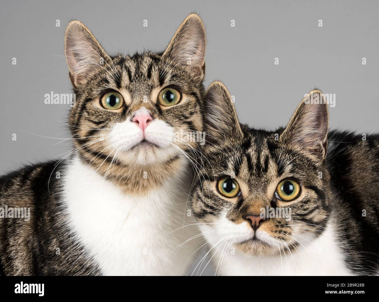 Domestic cats in the UK Stock Photo