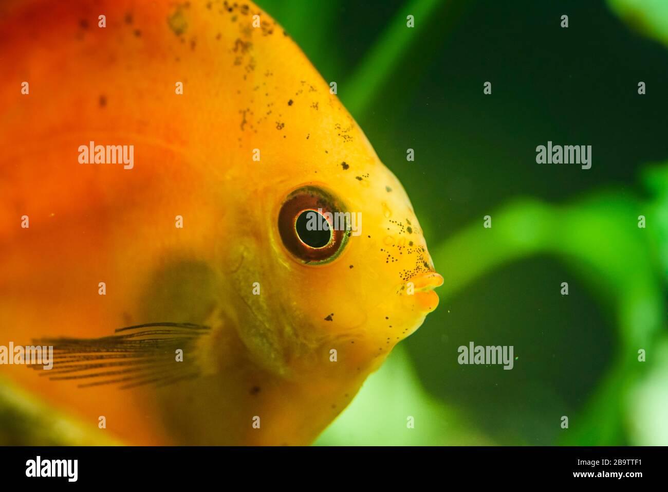 Portrait of a red orange tropical Symphysodon discus fish in a fishtank. Stock Photo