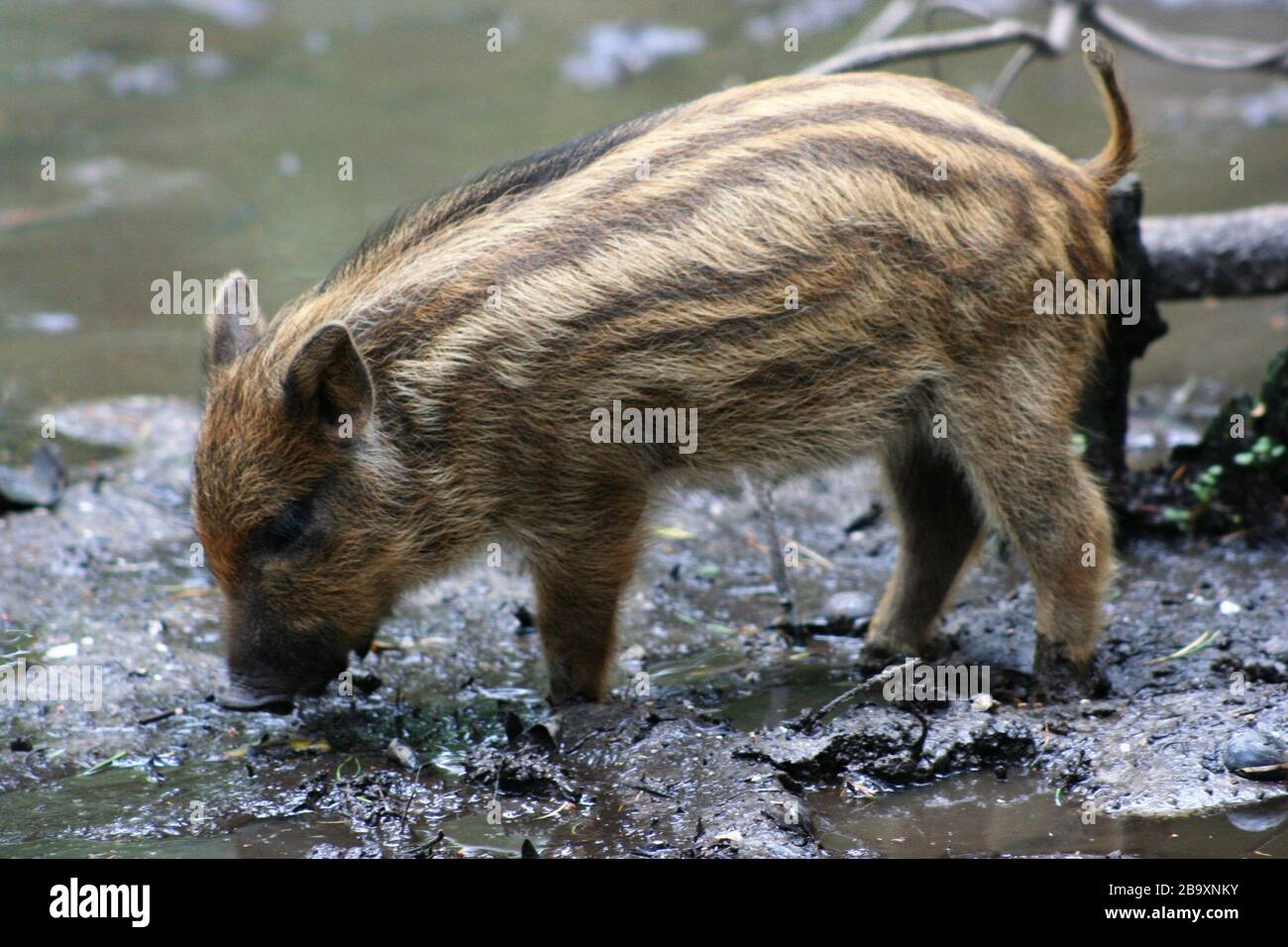 """""""Wild boar (Sus scrofa), at the New Forest Otter, Owl and Wildlife Park (Hampshire, England).; 26 June 2007; Own work; Dave Pape; """" Stock Photo"""