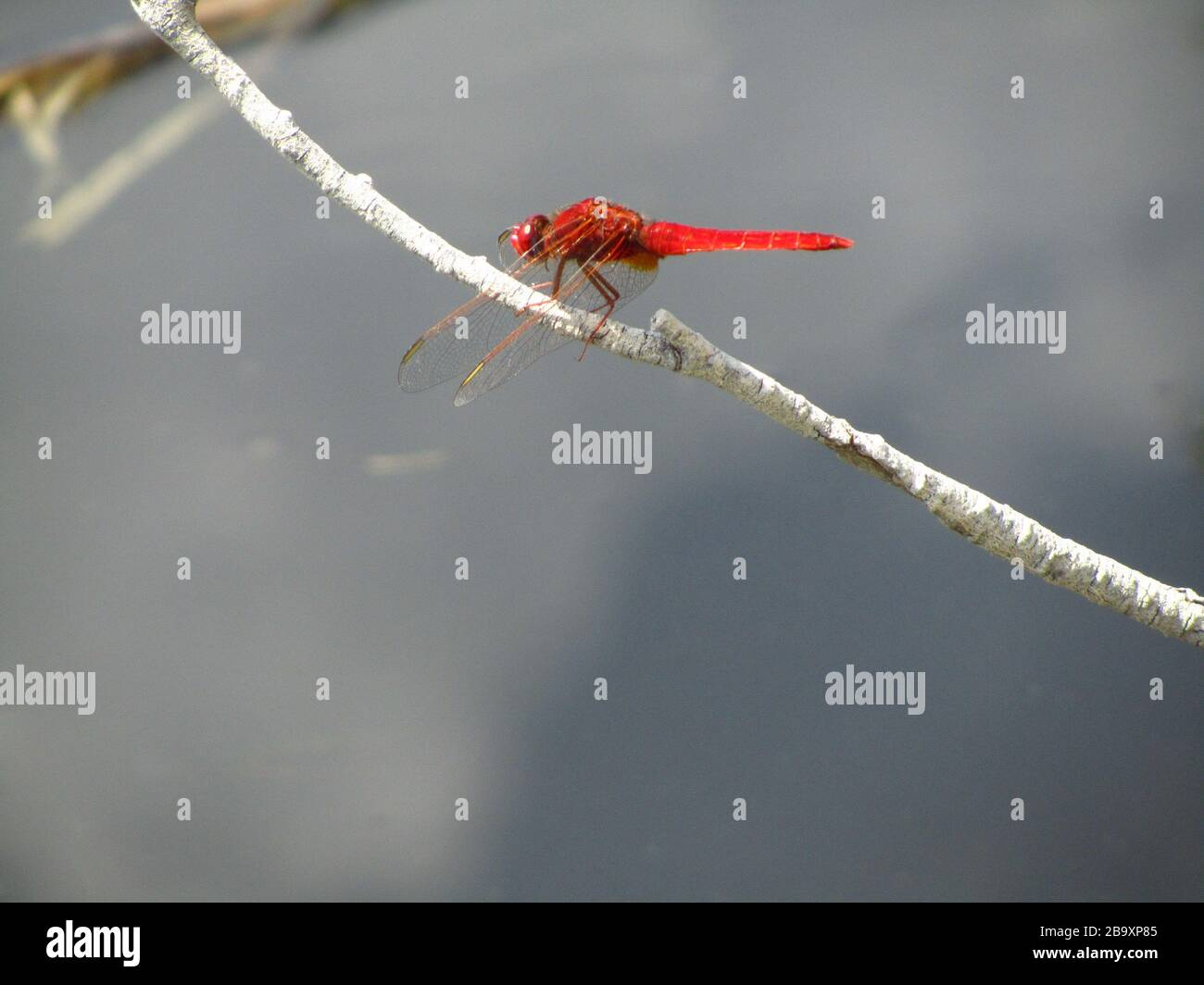 Closeup of a Scarlet dragonfly on a tree branch under the sunlight with a blurry background Stock Photo