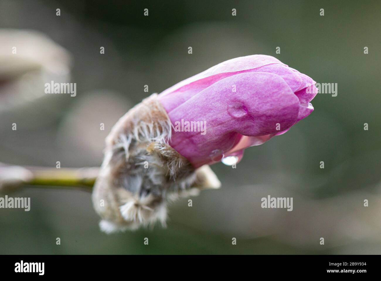 Water droplets on the flower bud of a magnolia 'Leonard Messel' (Magnolia × loebneri 'Leonard Messel') Stock Photo