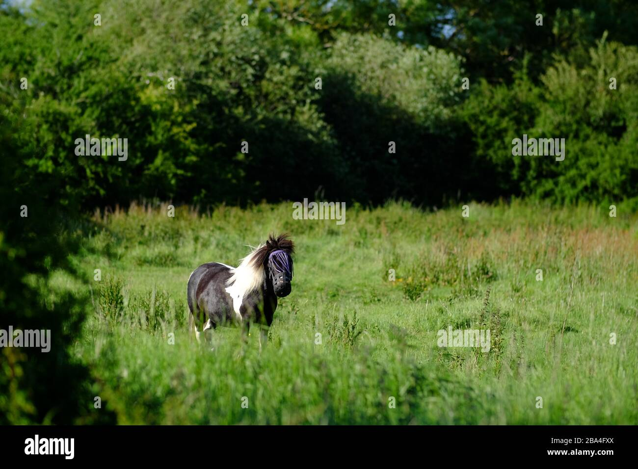 Small pony in a meadow wearing a face guard to protect against insects. Stock Photo