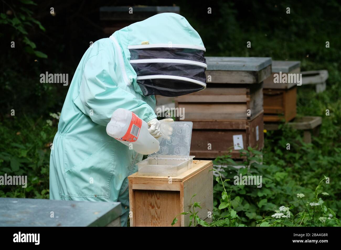 Amateur bee keeper feeding sugar to supplement food for the hives. UK Stock Photo