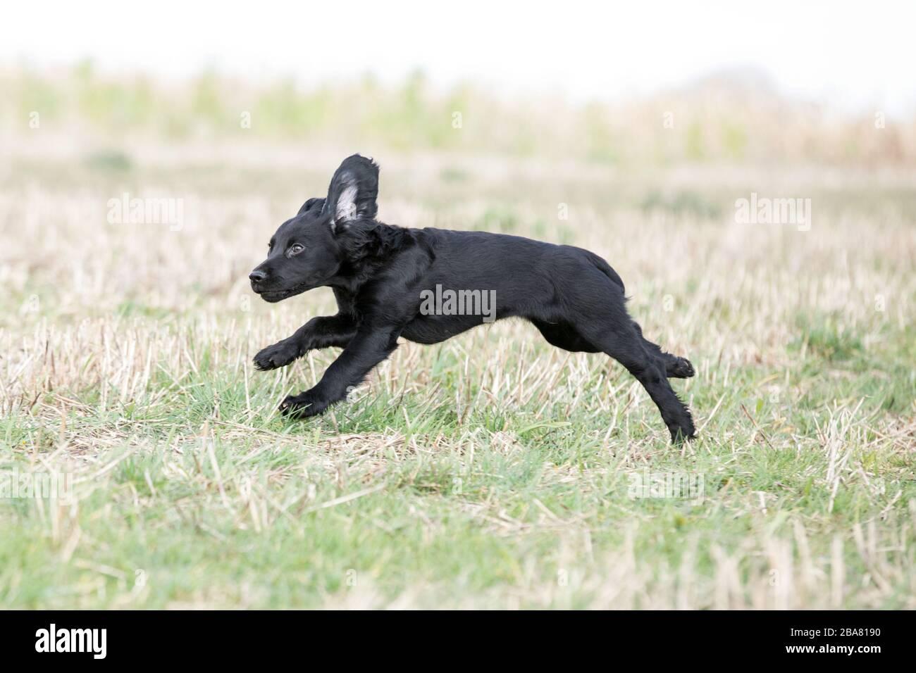 Black Working Cocker Spaniel Puppy Stock Photo 350530572 Alamy