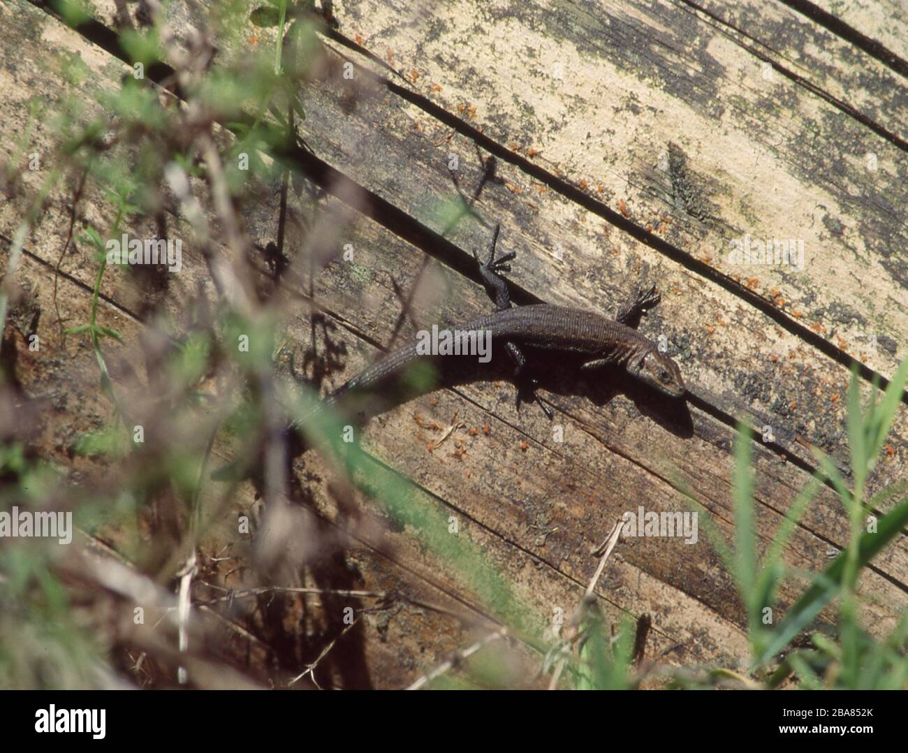Lizard perches on tree trunk Stock Photo