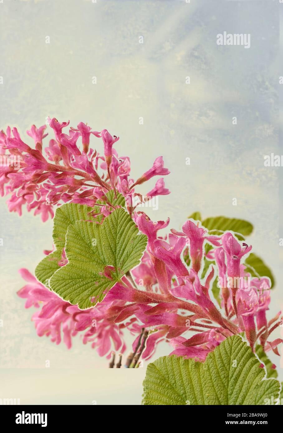 Ribes Sanguineum, flowering currant, nature flower portrait Stock Photo