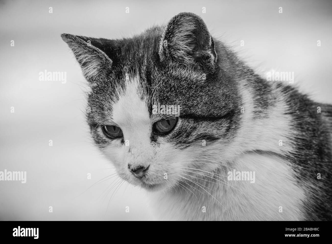 A white spotted street cat sits on a fence.Cat, walk, street, spring. Spring in cats. sunny dayWhite cat is on the fence Stock Photo