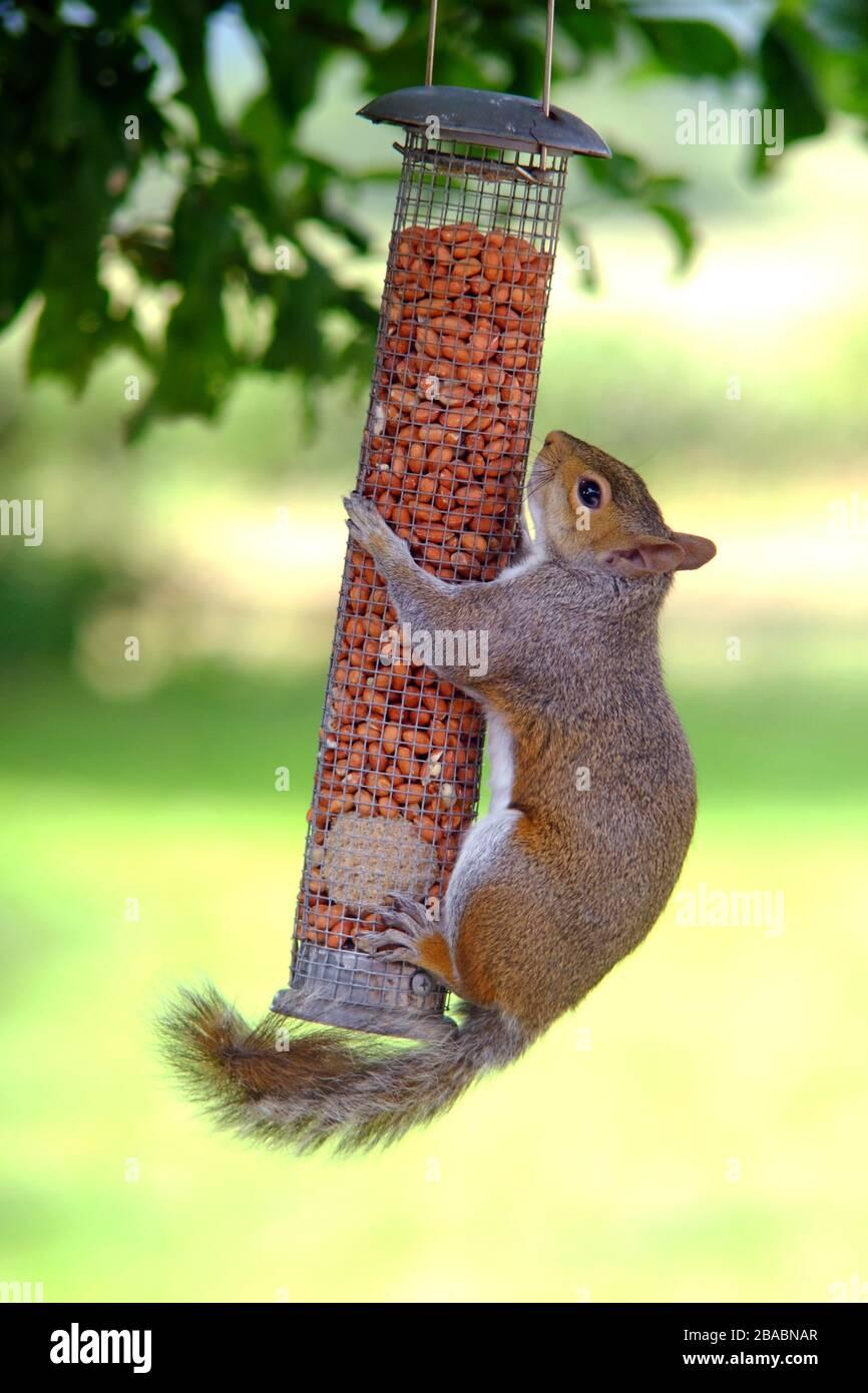 Grey squirrel on a garden bird feeder. Stock Photo