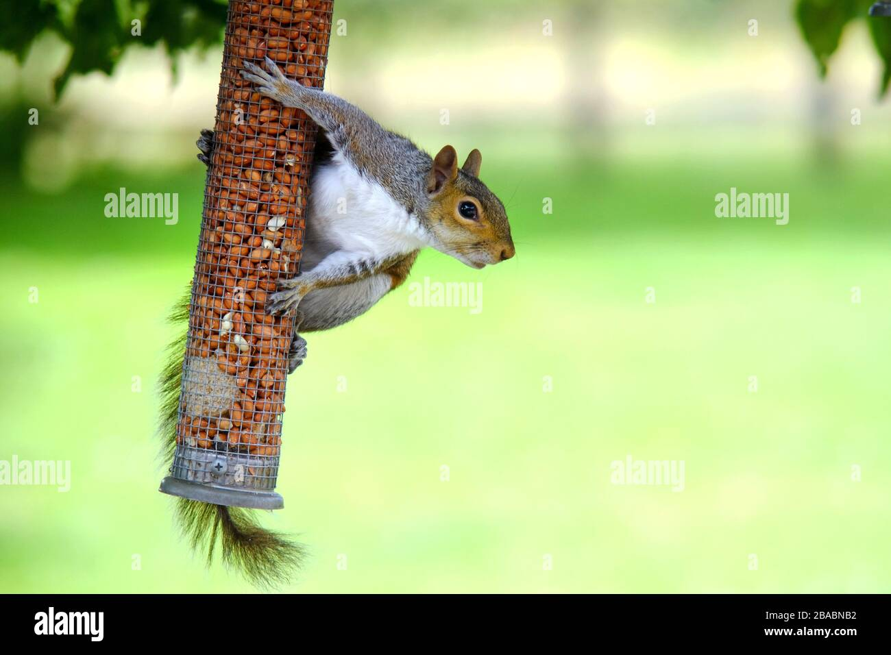 Grey squirrel on a garden bird feeder. Stock Photo