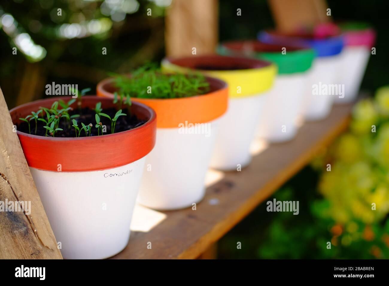 Home grown herb seedlings in hand painted pots. Stock Photo