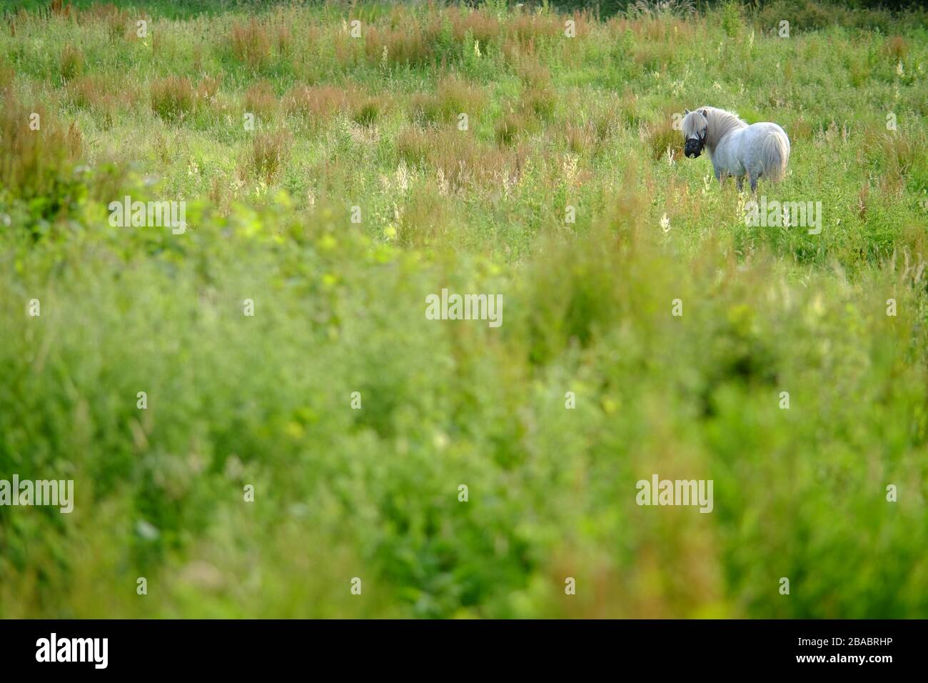 Small white pony in a meadow. Stock Photo