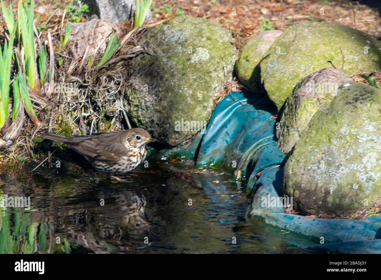 Thrush singer, singer - a species of medium-sized bird from the thrush family, inhabiting Eurasia. Stock Photo