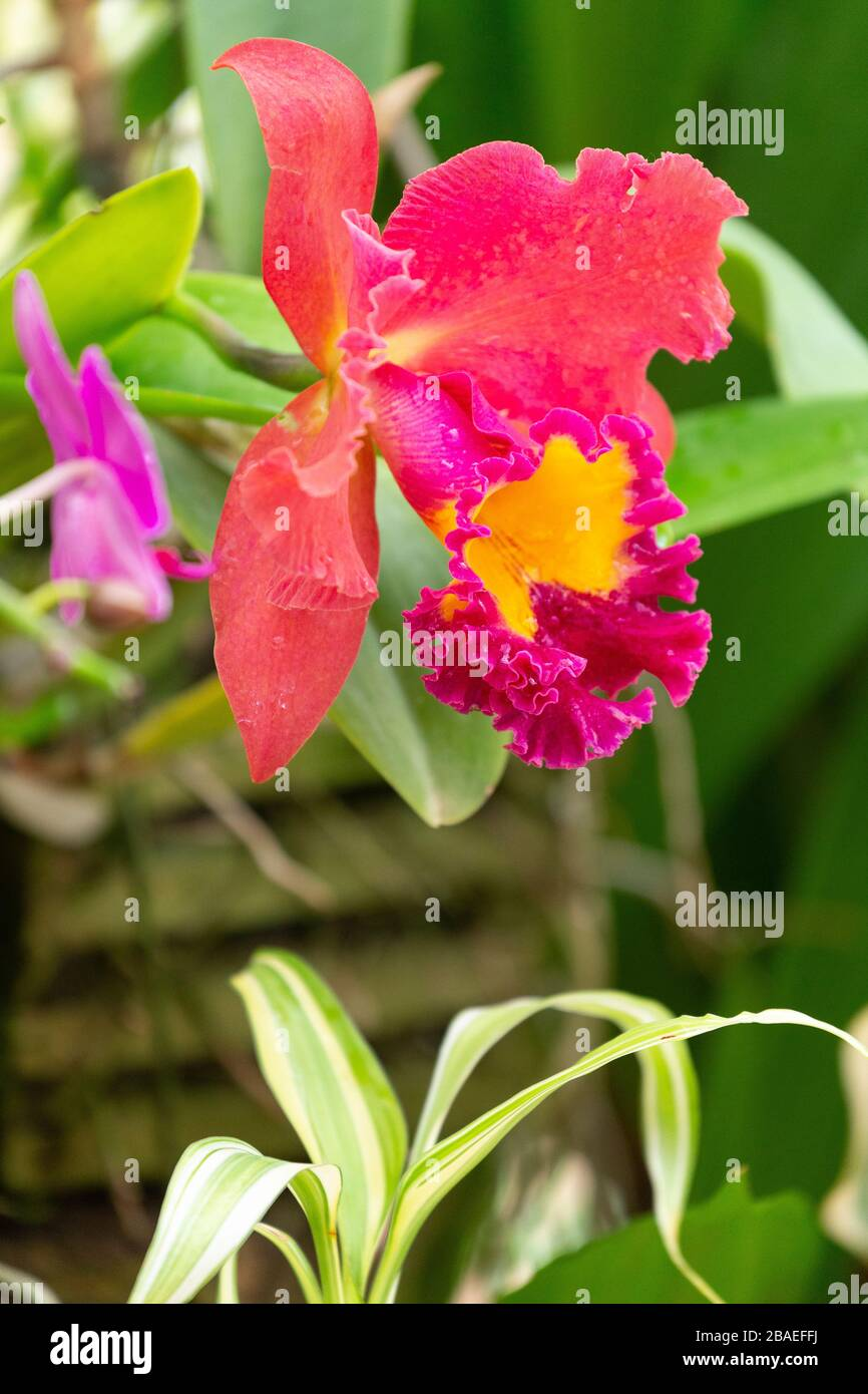 Orchid Flower In Sri Lanka High Resolution Stock Photography And Images Alamy