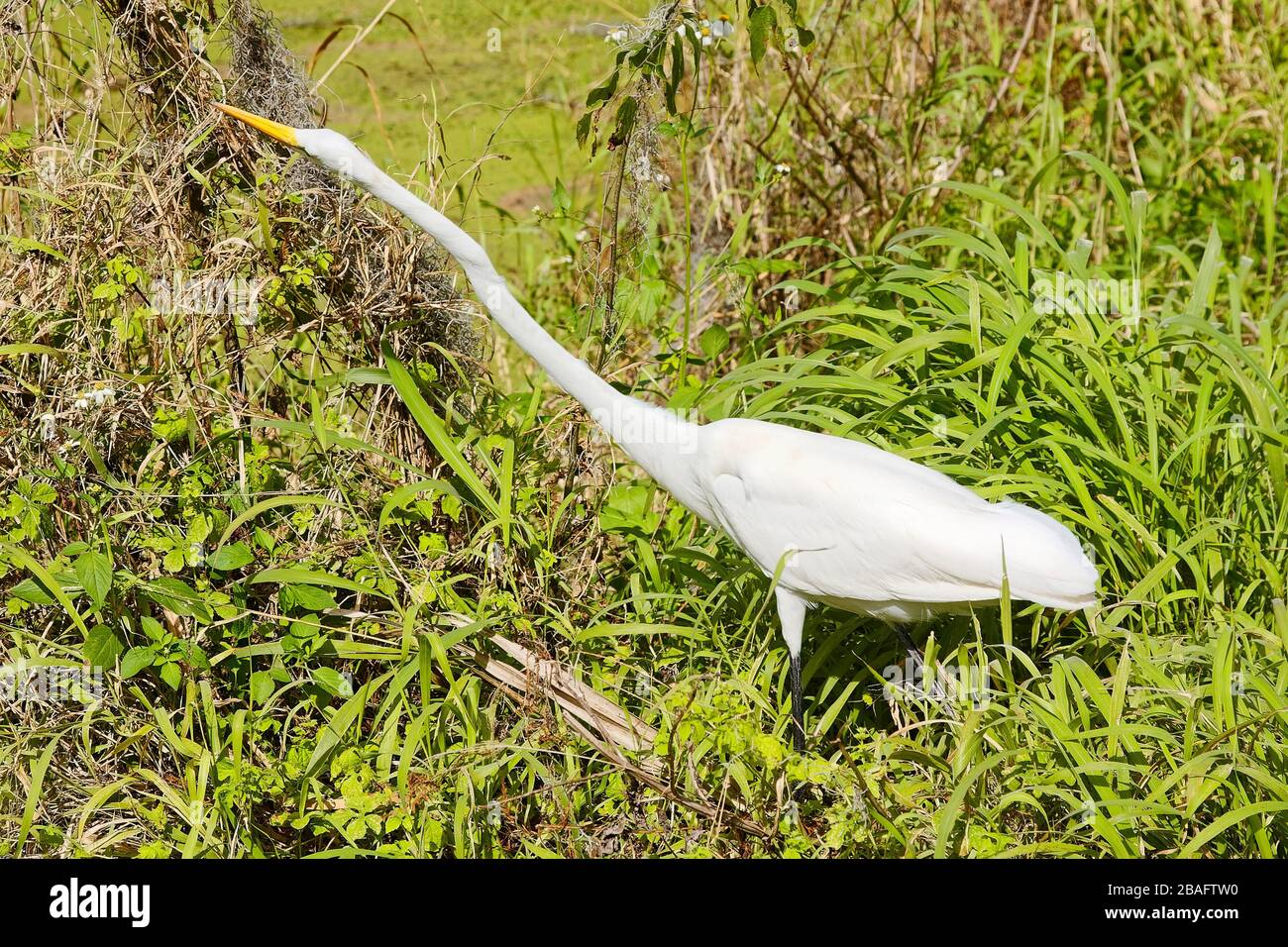 https://c8.alamy.com/comp/2BAFTW0/great-egret-animal-hunting-for-food-neck-stretched-out-nature-tall-bird-white-wildlife-ardea-alba-circle-b-bar-reserve-florida-lakeland-fl-2BAFTW0.jpg