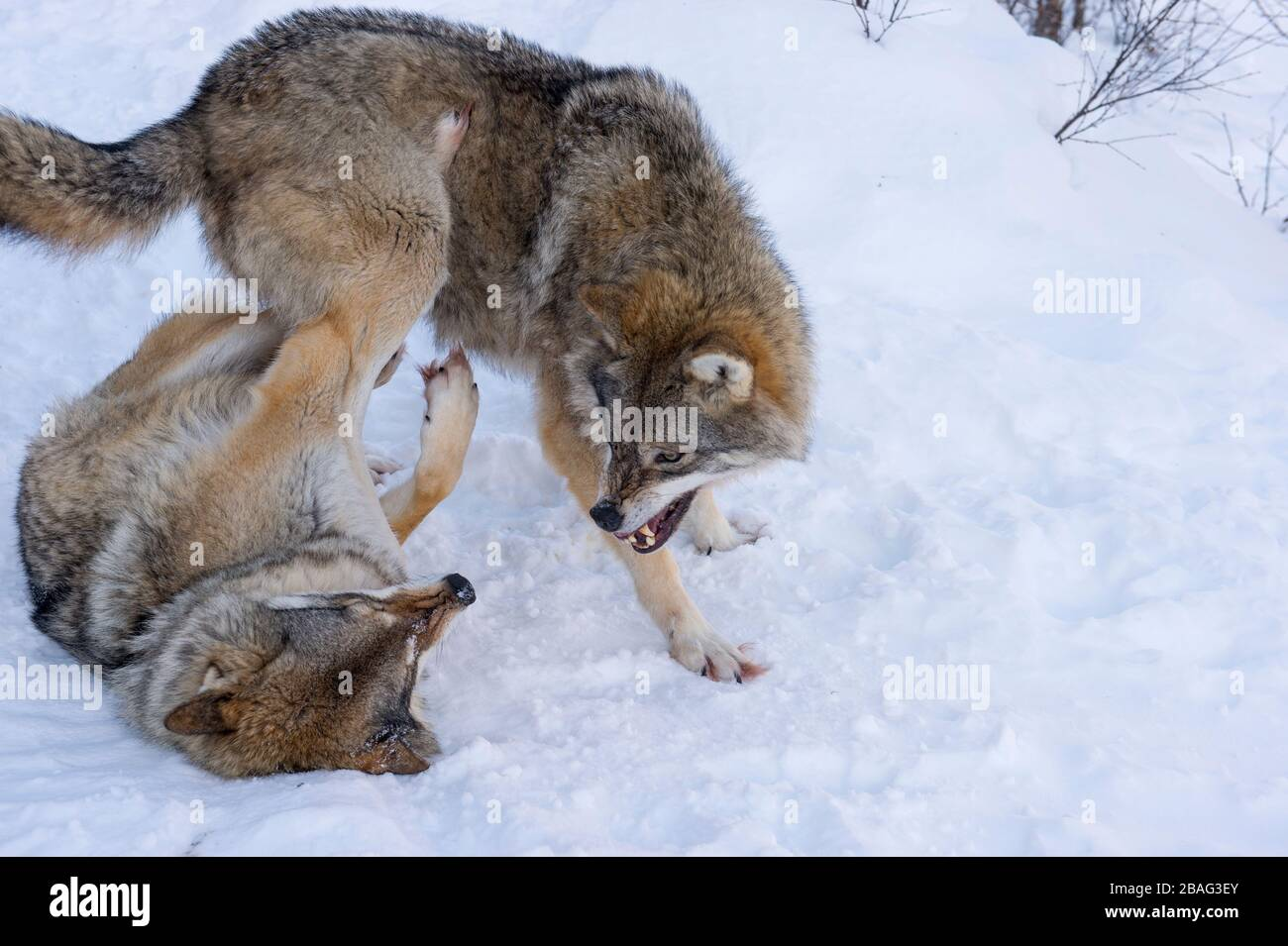 Gray Wolves Canis Lupus In The Snow Fighting With Each Other At A Wildlife Park In Northern Norway Stock Photo Alamy