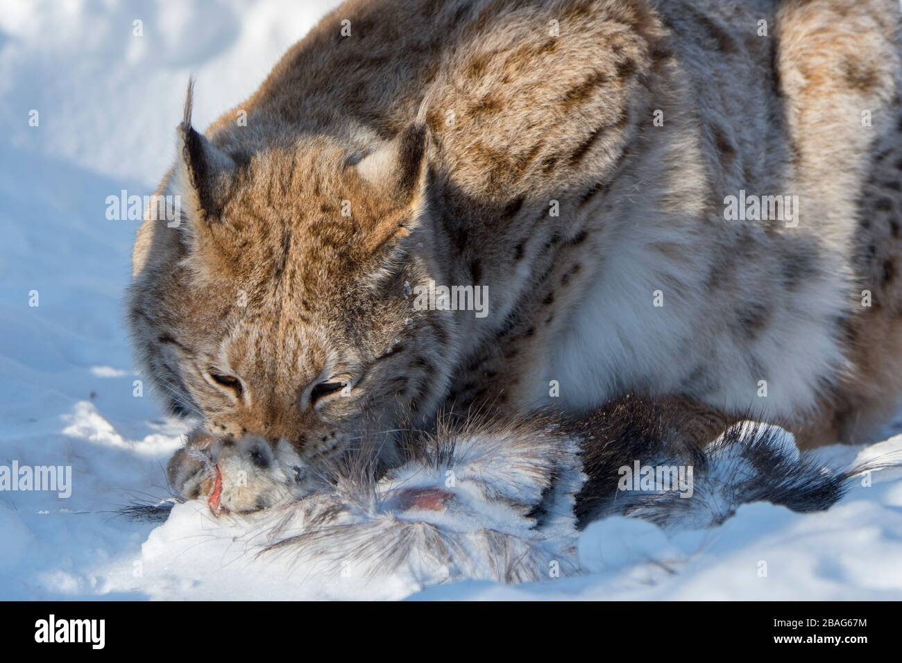A Eurasian lynx (Lynx lynx) is feeding on the remains of a moose in the snow at a wildlife park in northern Norway. Stock Photo