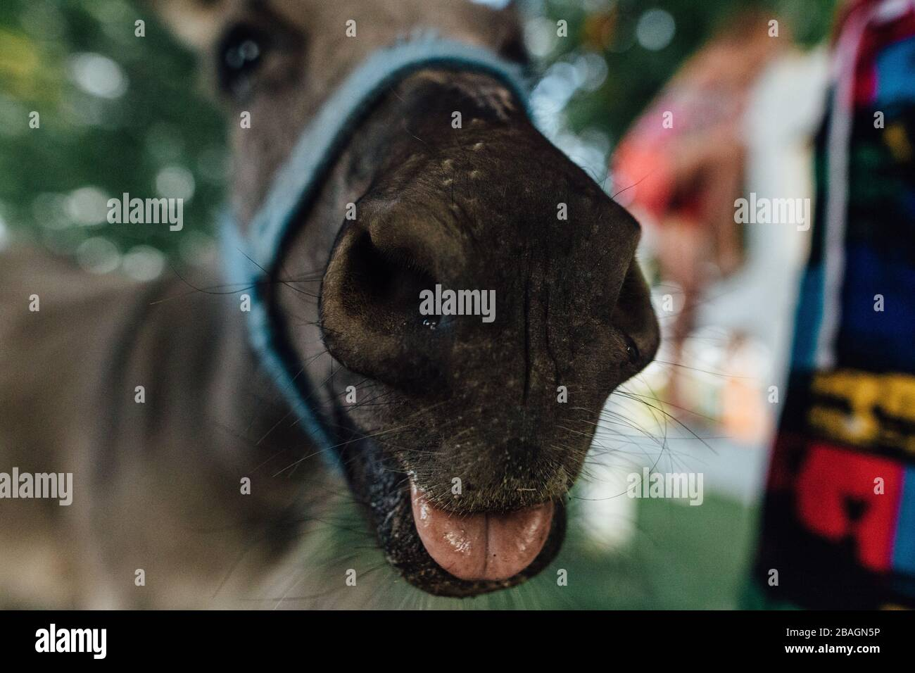 Donkey's nose up close with tongue out Stock Photo
