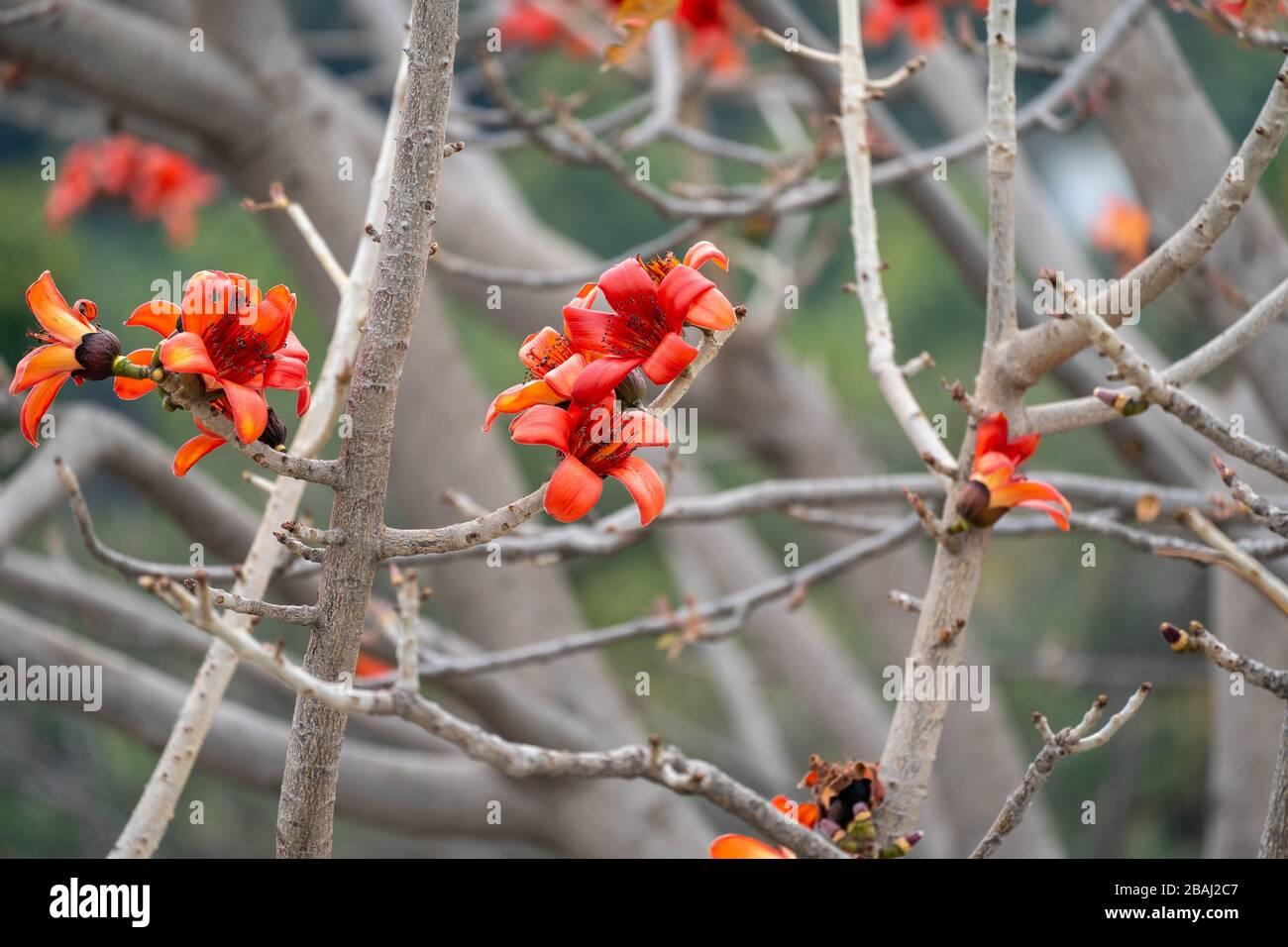 Bombax Ceiba Tree Cotton 30 Seeds Seeds