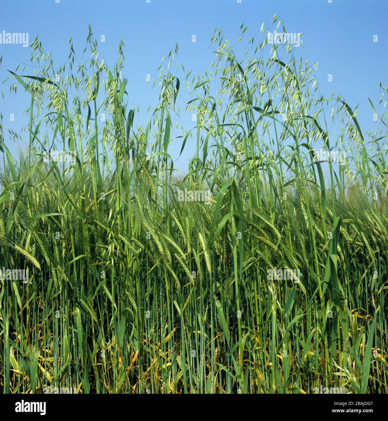 Wild oats (Avena fatua) annual arable grass weed flowering spikes in barley crop in green ear Stock Photo