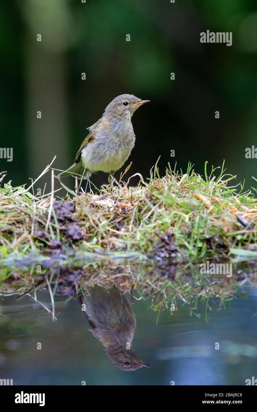 Juvenile Chiffchaff [Phylloscopus collybita ] on reflection pool Stock Photo