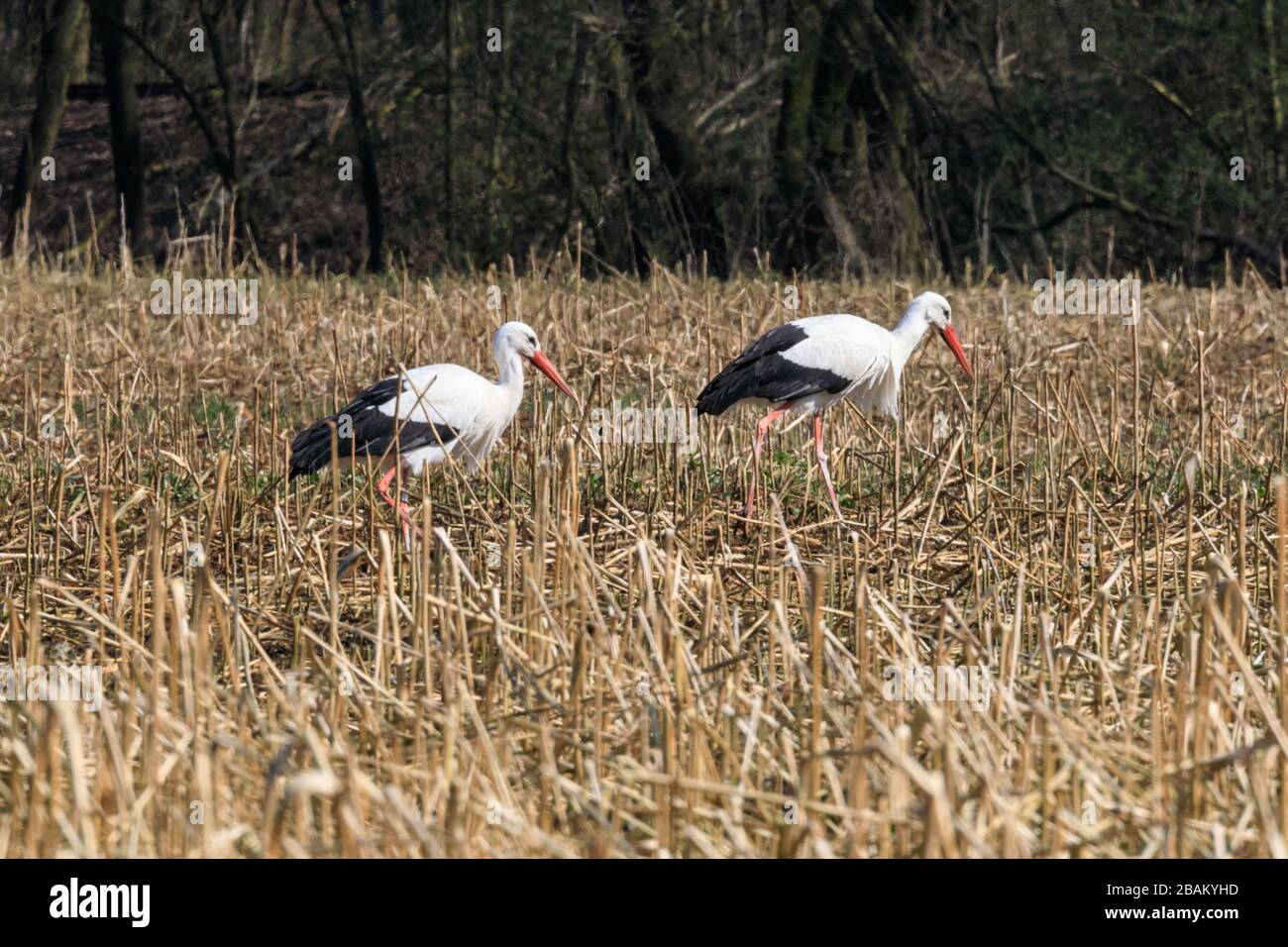 Sythen, NRW, Germany. 28th Mar, 2020. Wild white storks indicate a first glimpse of spring as they return to their summer quarters near Sythen in the Munsterland countryside in beautiful sunshine. Several pairs of the rare large migratory bird have returned from Africa and Spain every year to nest and bring up their young around the area. Credit: Imageplotter/Alamy Live News Stock Photo