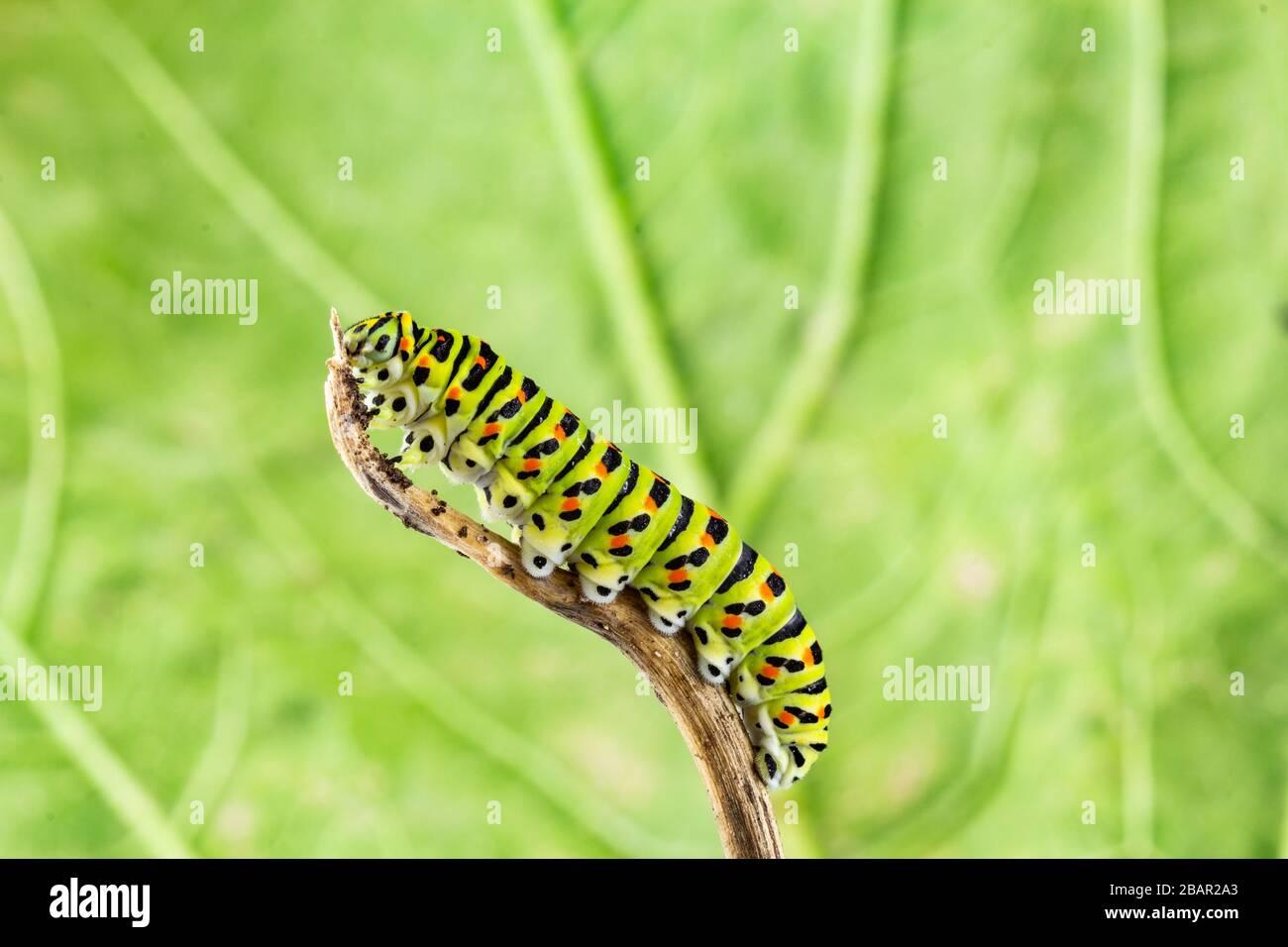 common yellow swallowtail (Papilio machaon) caterpillar closeup Stock Photo