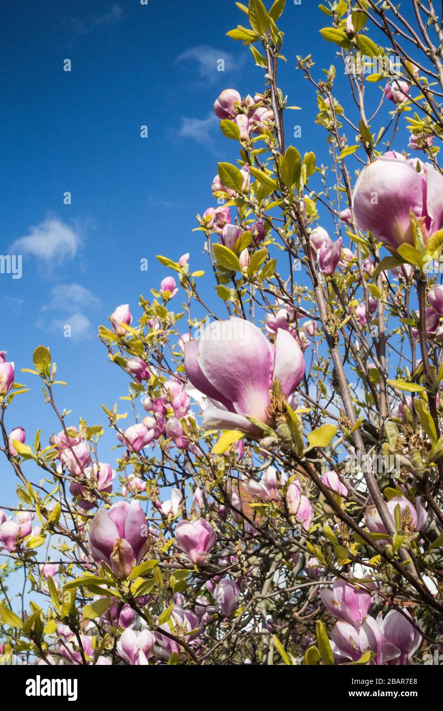 Pink Magnolias set against a blue spring sky Stock Photo