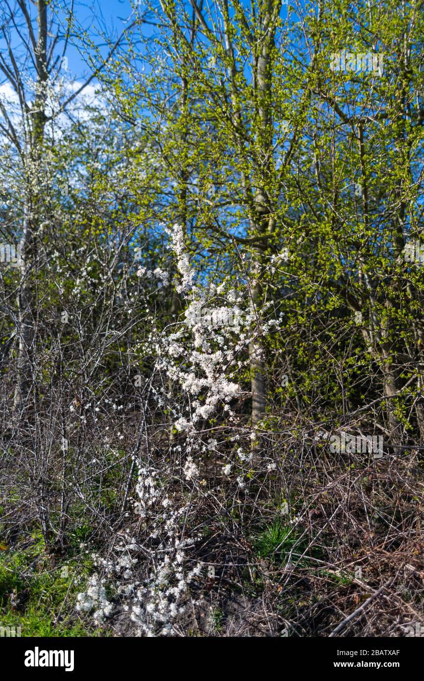 White Flowers On A Small Tree Between Aphids And Green Trees Stock