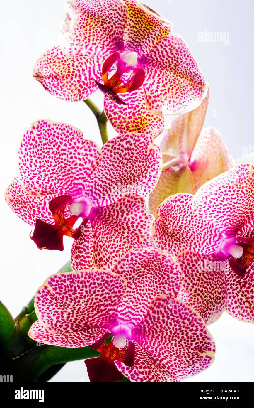 Close-up of blooming Orchid flower; Orchidaceae; one of the two largest family of flowering plants Stock Photo