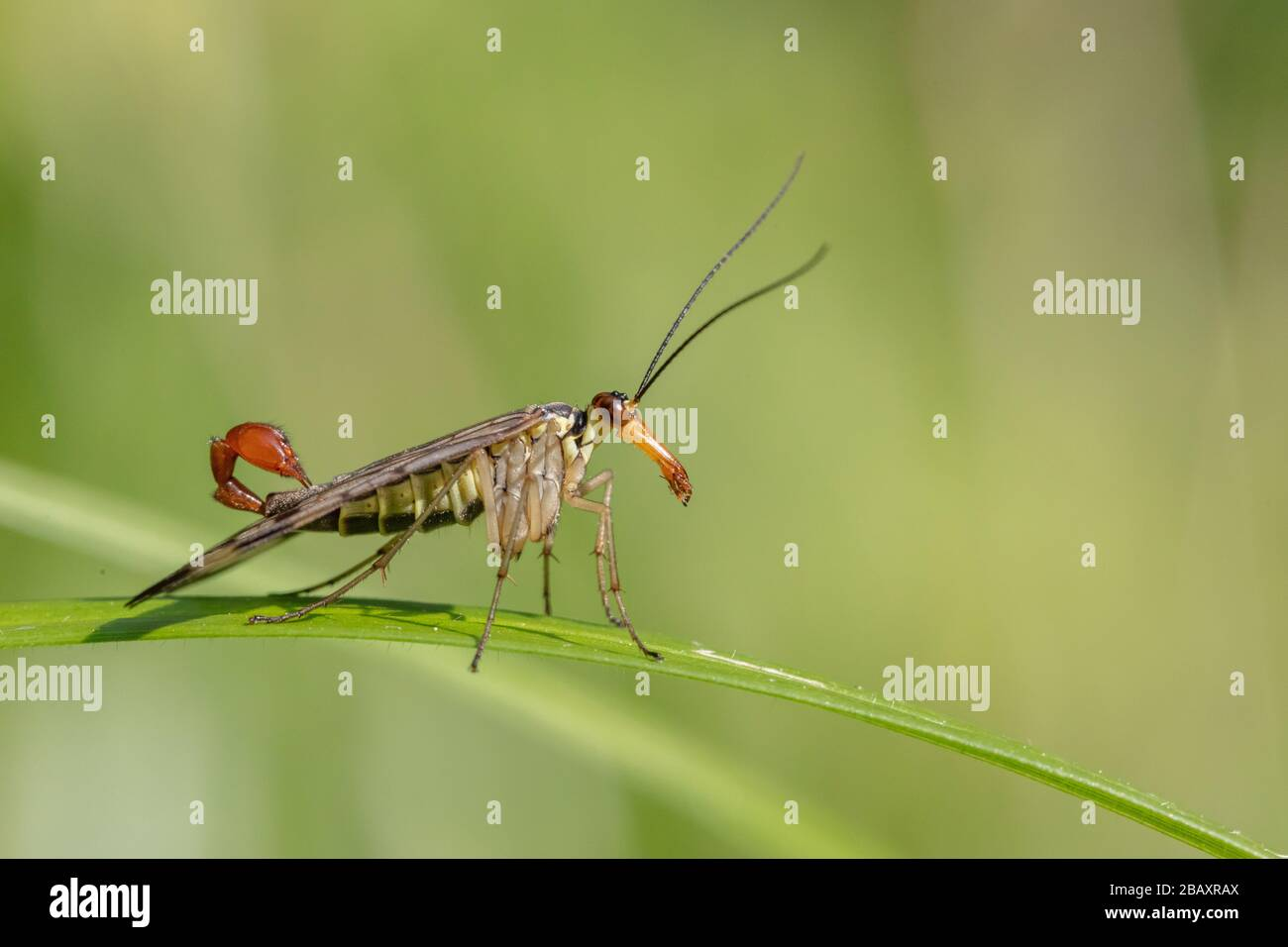 Male common scorpionfly (Panorpa communis) resting on a leaf Stock Photo