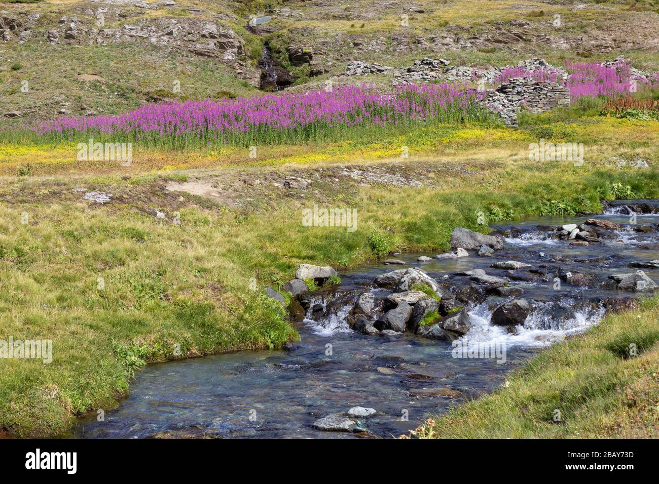 Hiking trail in Aosta valley. Blooming  Chamaenerion angustifolium in the background and a wild mountain stream in the foreground. Stock Photo