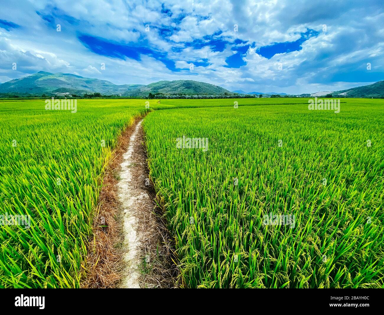 Rice field, green rice sprouts in the meadow. Young green rice. Farmland. Mountain view, agriculture in Asia. Stock Photo