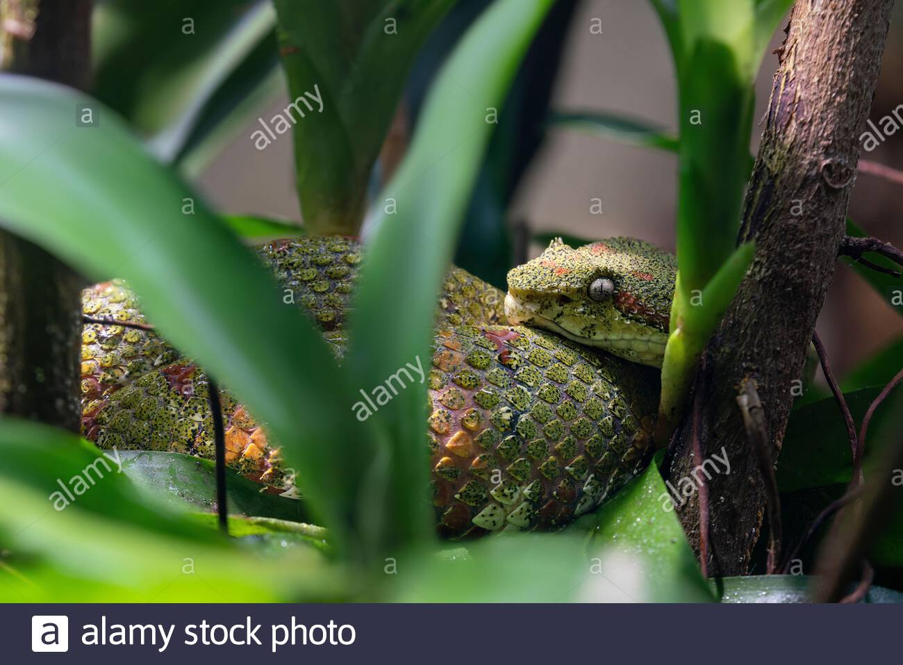 Bothriechis schlegelii known as the eyelash viper, a highly venomous pit viper native to Central and South America Stock Photo