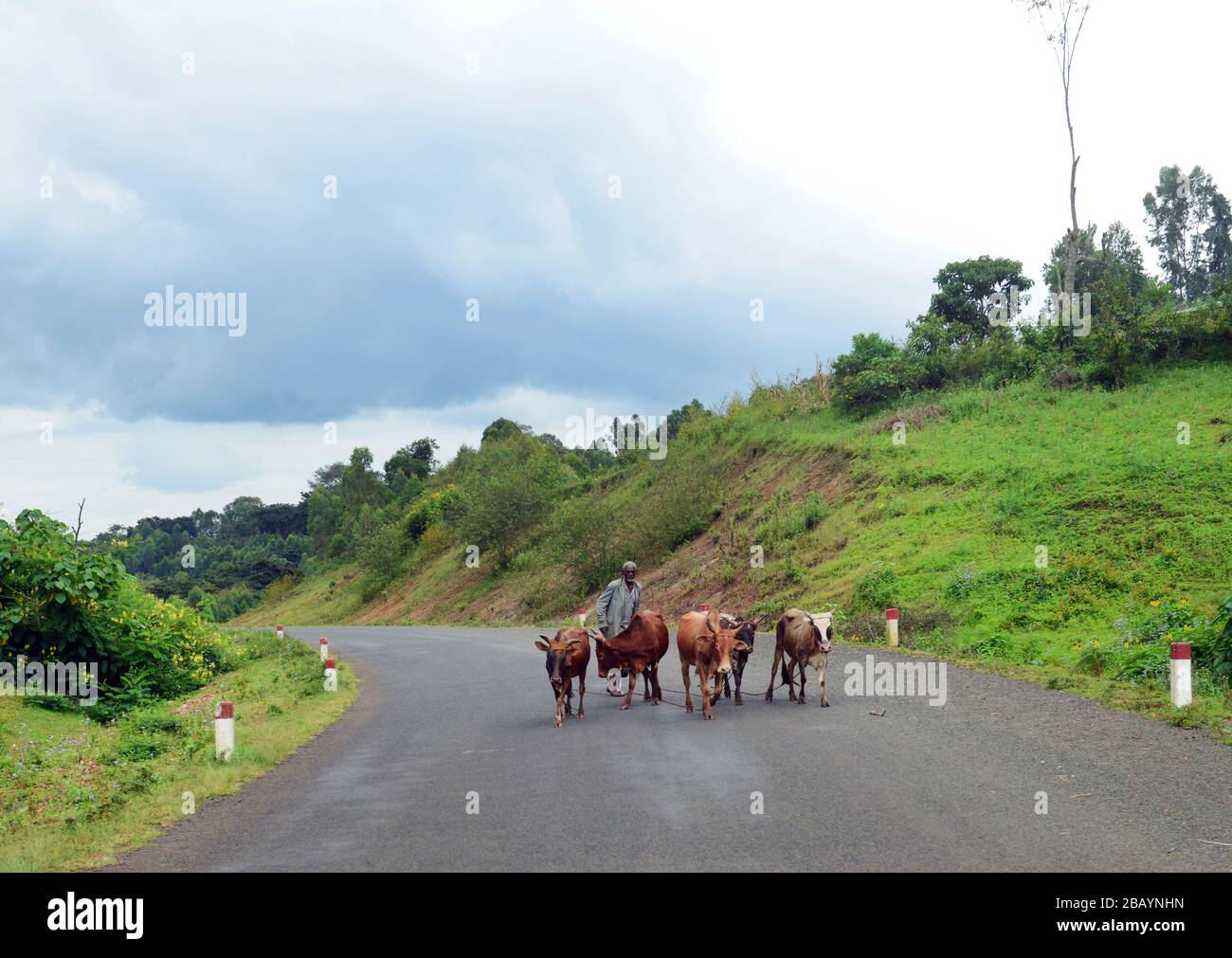 An Ethiopian man herding his cattle near Bonga, Ethiopia. Stock Photo