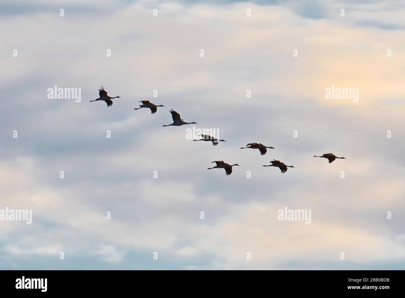 A flock of common cranes (Grus grus) is flying in V-formation through the blue sky shortly before sunset. Västernorrland, Sweden, Europe Stock Photo