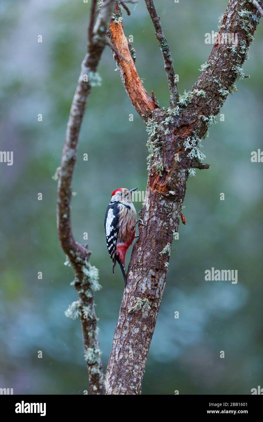 PICO MEDIANO - Middle spotted woodpecker (Dendrocoptes medius). Stock Photo