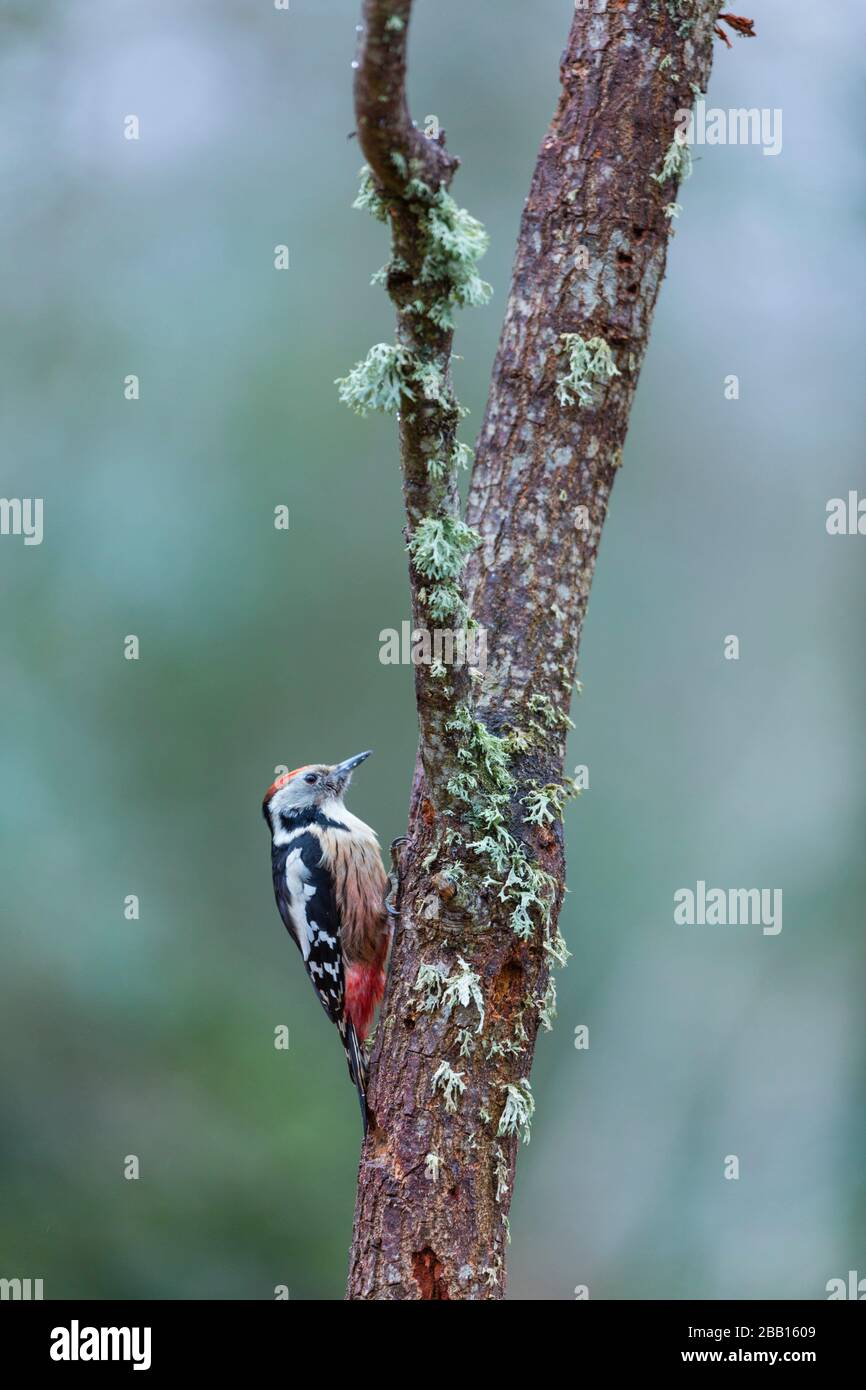 Middle spotted woodpecker (Dendrocoptes medius). Stock Photo