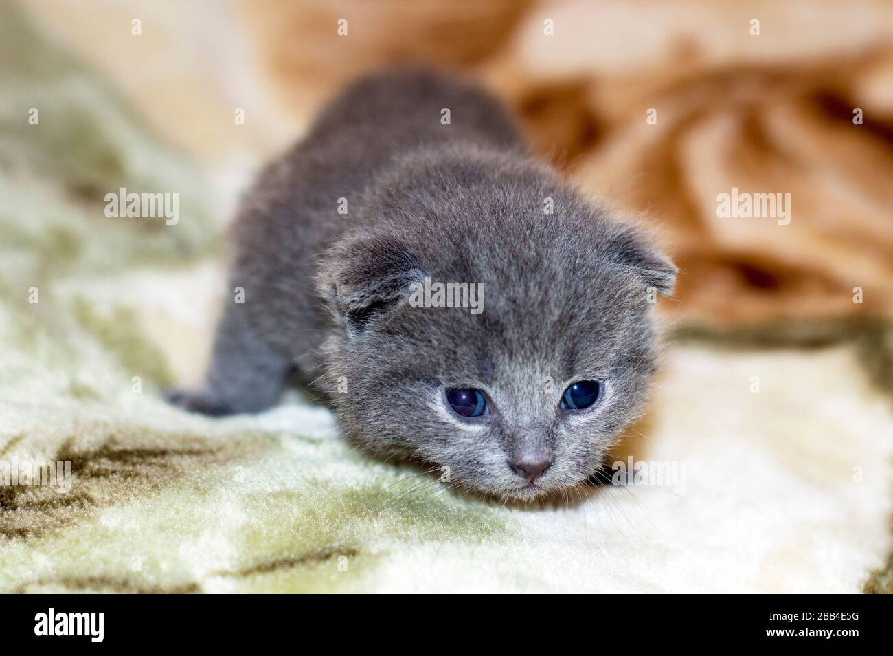 4 Weeks Old Kitten High Resolution Stock Photography And Images Alamy