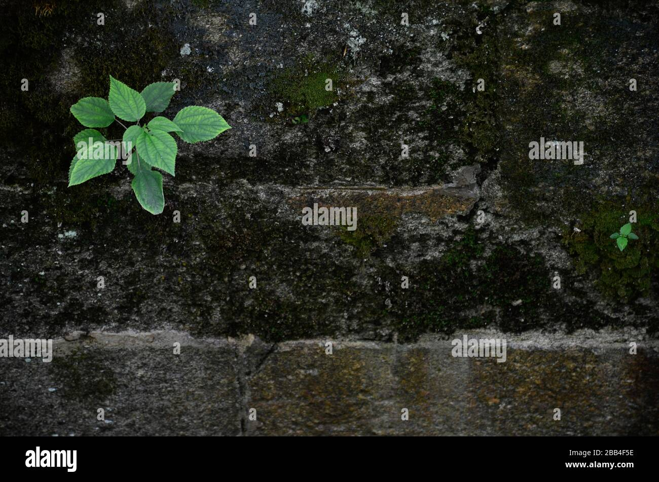 Green plant and a smaller shoot grow on a mossy brick wall. Stock Photo