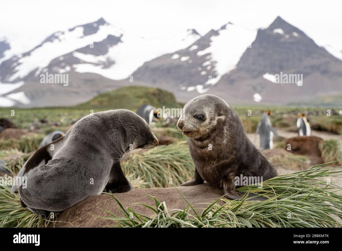 Fur Seal Pup, South Georgia Stock Photo