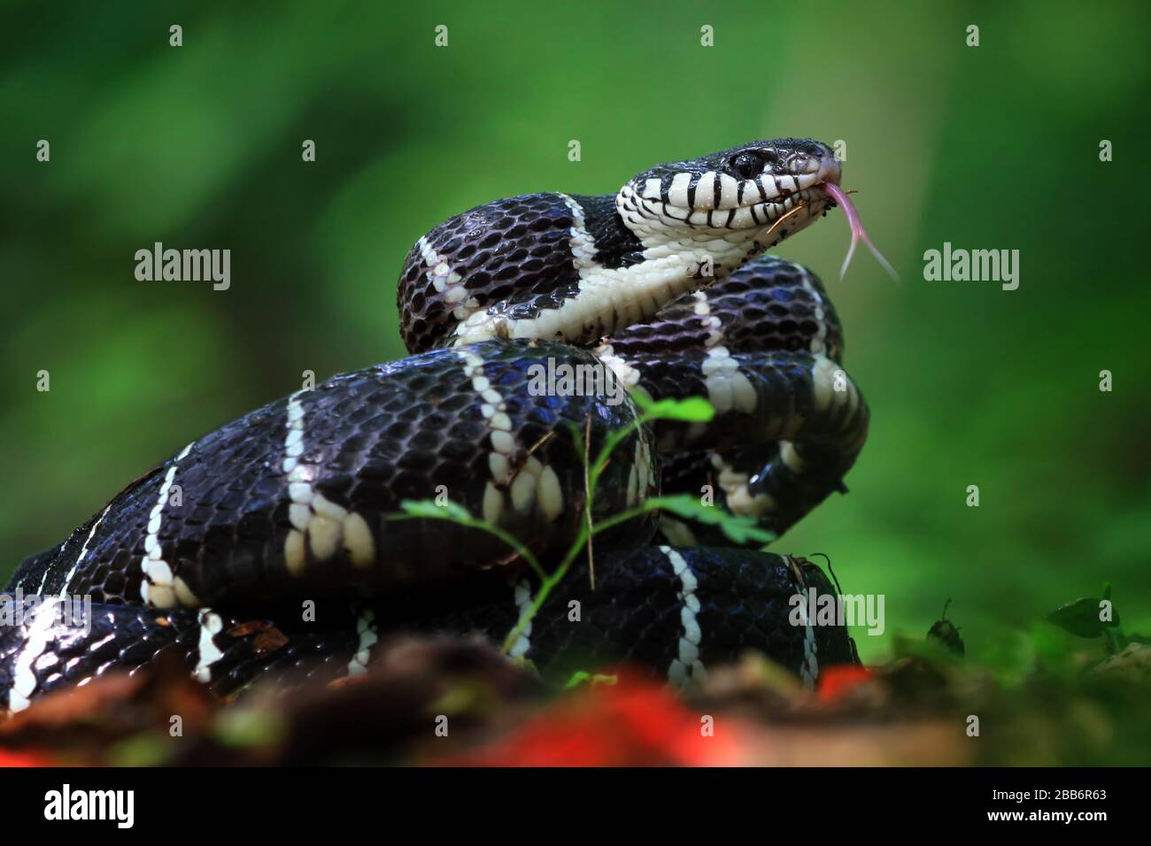 Coiled Snake Portrait High Resolution Stock Photography And Images Alamy
