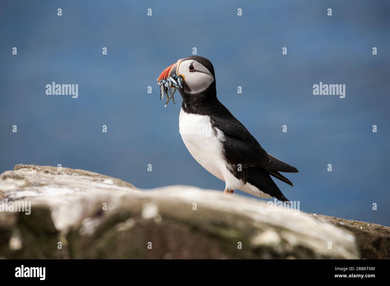 Common or Atlantic Puffin Fratercula arctica close up in profile with a bill full of sand eels on a rock on the Farne Islands, Northumberland U.K. Stock Photo