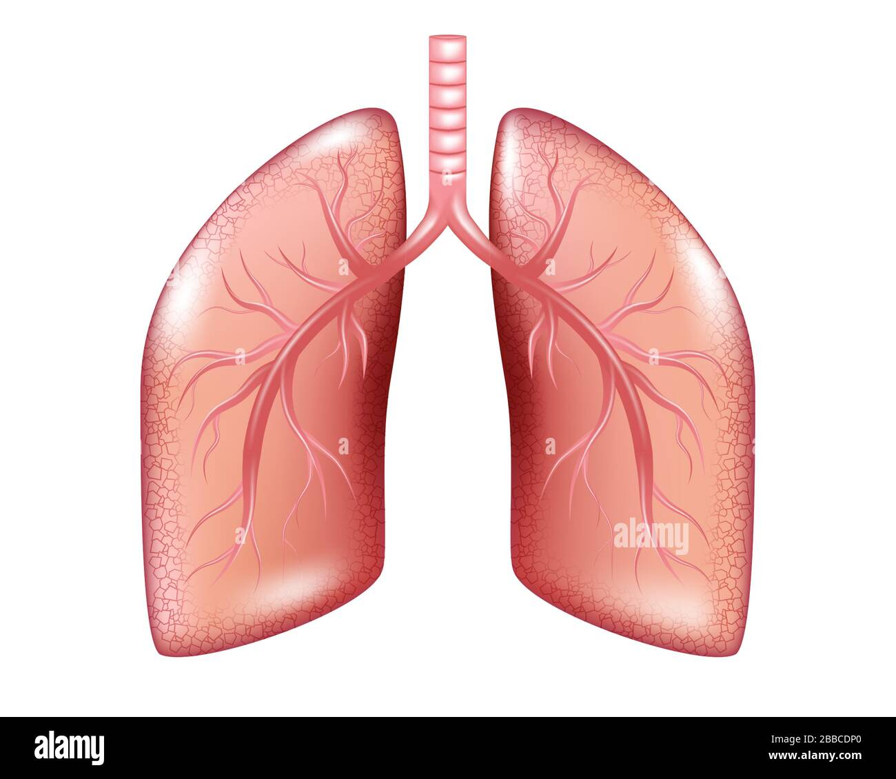 lung diagram cow respiration diagram stock photos   respiration diagram stock  respiration diagram stock photos
