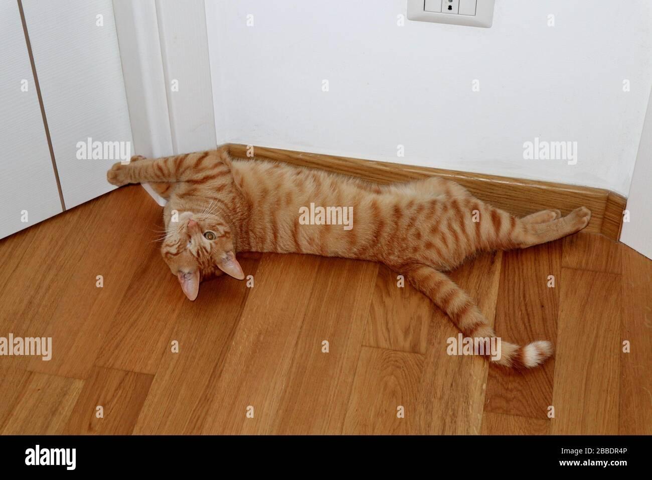 Gatto stiracchiato sul parquet Stock Photo