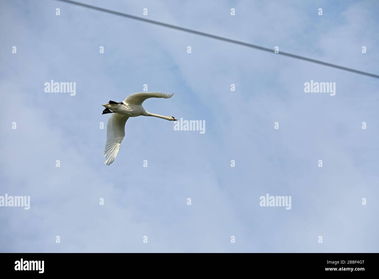 Swan flying through power lines Stock Photo