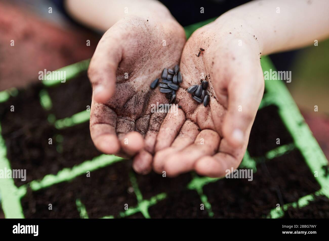 A pair of Primary school aged children hands holding plant seeds above green plastic seed trays Stock Photo