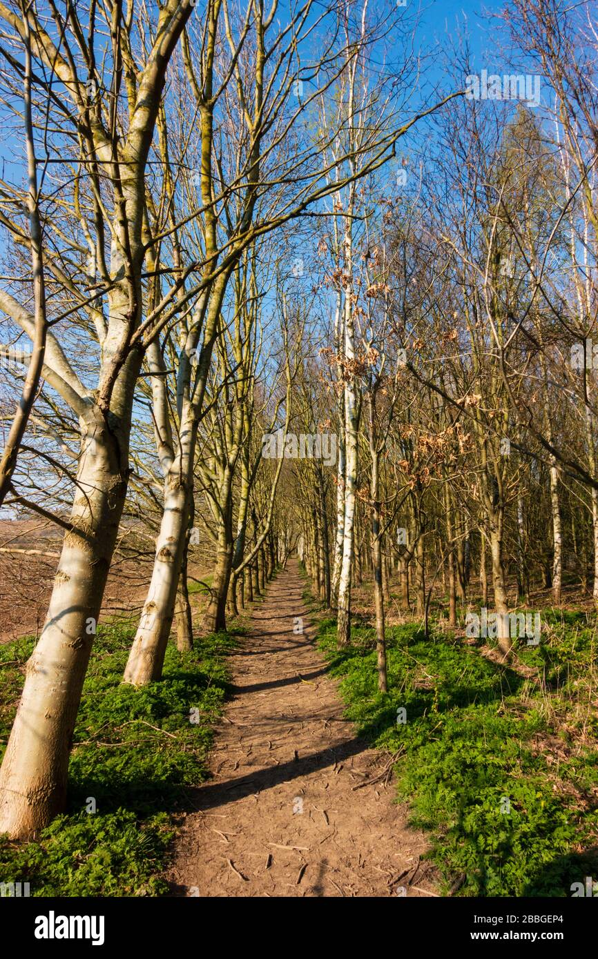 A muddy path through a grove of silver birch trees, early spring. Stock Photo